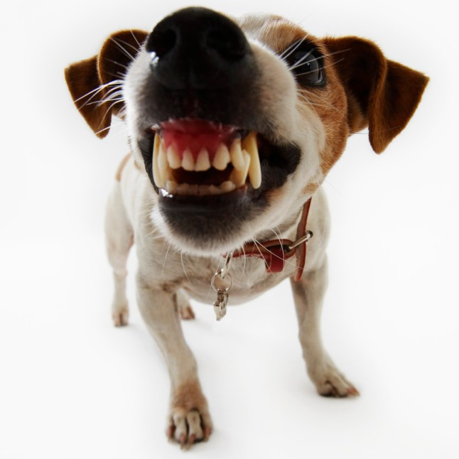 Jack Russell Terrier Snarling